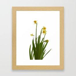 Narcissus flowers Framed Art Print