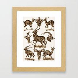 Ernst Haeckel Antilopina Antelope Framed Art Print