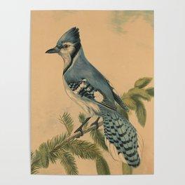 Vintage Illustration of a Blue Jay (1880) Poster