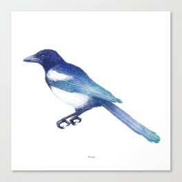 Magpie (Pica pica) - blue and turquoise Canvas Print
