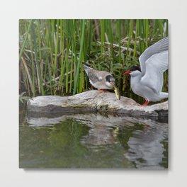 Baby Arctic Tern Feeding Metal Print