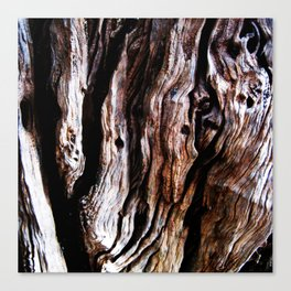 Ancient olive tree wood close-up Canvas Print