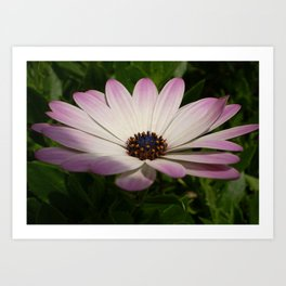 Side View of A Pink and White Osteospermum Art Print