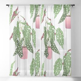 Simple Potted Polka Dot Begonia Plants in White Sheer Curtain