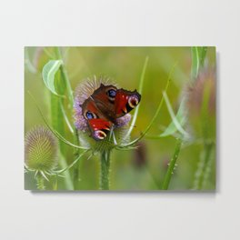 Peacock Butterfly on a Teasel Flower 4 Metal Print