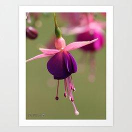 Fuchsia named Lambada Art Print
