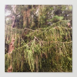 Woolly Spruce Canvas Print