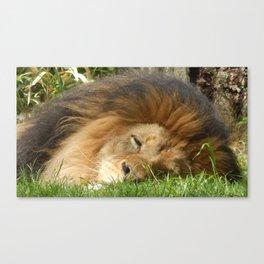 Sleeping Lion Canvas Print