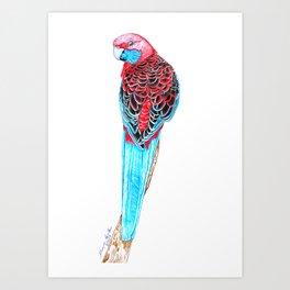 Blue Tail Parrot- The Pose Art Print