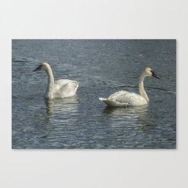 Two Trumpeter Swans at Oxbow Bend Canvas Print