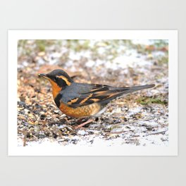 Male Varied Thrush Amid the Snow and Seed Art Print