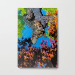 Hairless Sphynx kitten peering into a mirror Metal Print