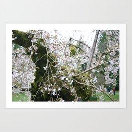More Cherry Blossoms Art Print