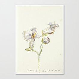 Catalpa Blossom 3 Canvas Print