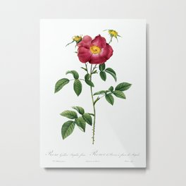 Stapelia French rose variety, Rosa gallica stapelice flora from Les Roses by Pierre-Joseph Redouté Metal Print