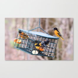 A Feast of Orioles Canvas Print