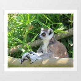Cute and relaxed Ring-tailed lemur (lemur catta) Art Print