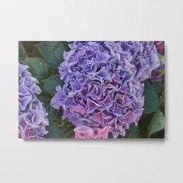 pink hydrangea in bloom Metal Print