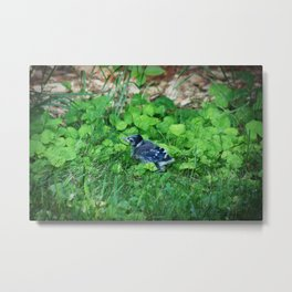 Baby Bluejay Bird Color Photo Metal Print