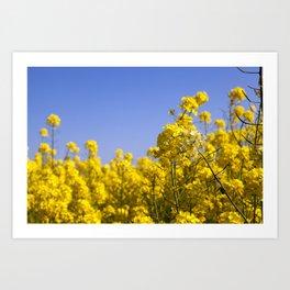 yellow blooming rape Art Print