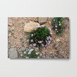 Alpine Spring beauty Colorado Metal Print