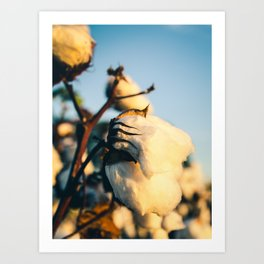 Cotton Field 13 Art Print