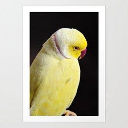 Shy Parakeet Art Print