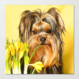 Spring Yellow Crocuses With Yorkie Puppy #decor #society6 Canvas Print