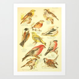 William Playne Pycraft - A Book of Birds (1908) - Plate 27: Finches, Sparrows and Buntings Art Print