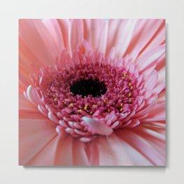 Pink Germini Close up Metal Print