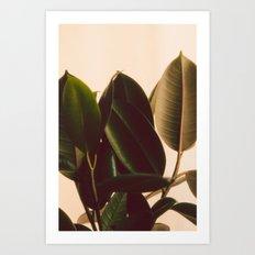 Rubber Plant White Background Art Print