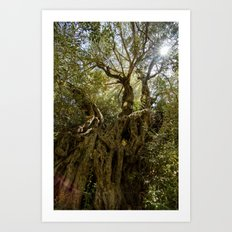 Ancient Olive Tree Art Print