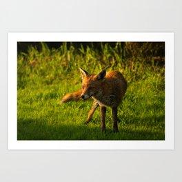 A Wet Wild Red Fox Art Print