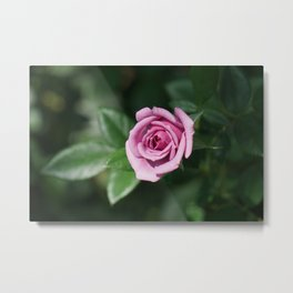 Lavender Bloom Metal Print