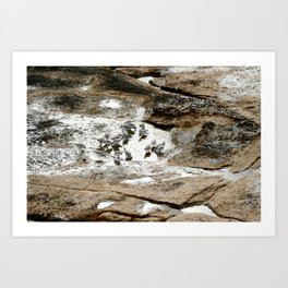 Sandpipers feeding in a tide pool Art Print