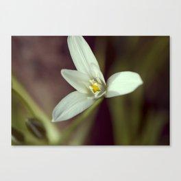 Winter white blossom Canvas Print