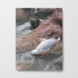 Seagull Drinking Water Metal Print
