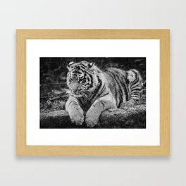 Amur Tiger Cub Framed Art Print