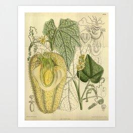 Sechium edule, Cucurbitaceae Art Print