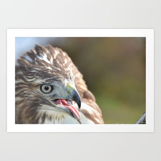 Red Tailed Hawk Close Up Art Print