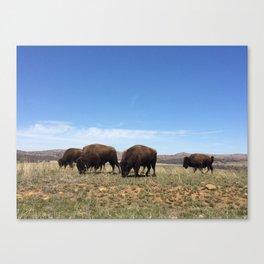 Bison Grazing Canvas Print