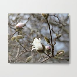 Magnolia Blossoming Metal Print