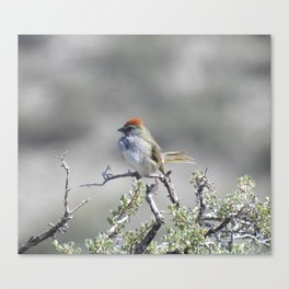 Wild birds, Green-tailed towhee Canvas Print