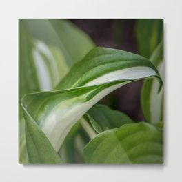 Wavy plantain lily leaves outdoors macro with blurred background Metal Print
