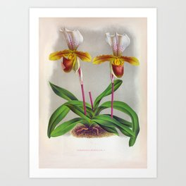 Twin White And Yellow Orchids Vintage Cypripedium Leeanum Art Print