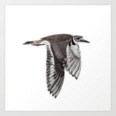 Vociferus peruvianus - Charadrius - Killdeer - Chorlo gritón Art Print