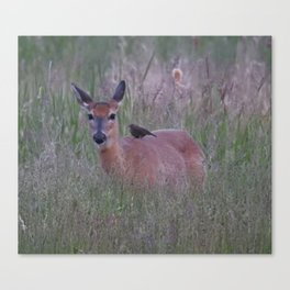 Bird on the Back of a White-tailed Doe Canvas Print