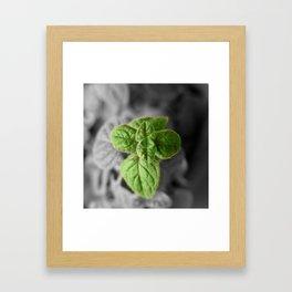 Oregano, Color on B/W 1 Framed Art Print