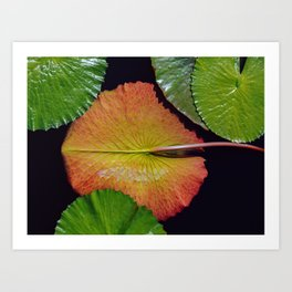 Nymphaea Tropic Sunset Lily Pad Leaves Art Print