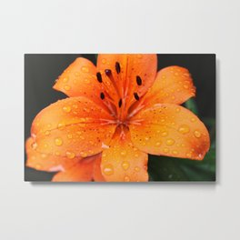 golden lily flower with rain drops. Metal Print